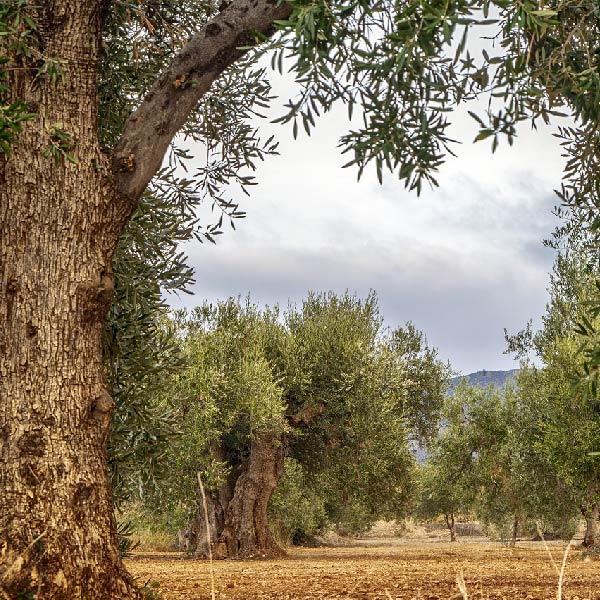 Transformación digital del olivar