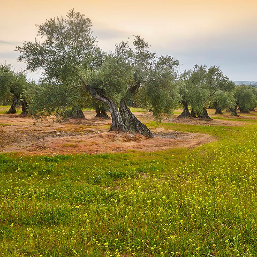 El olivar mantiene su liderazgo como cultivo ecológico en España